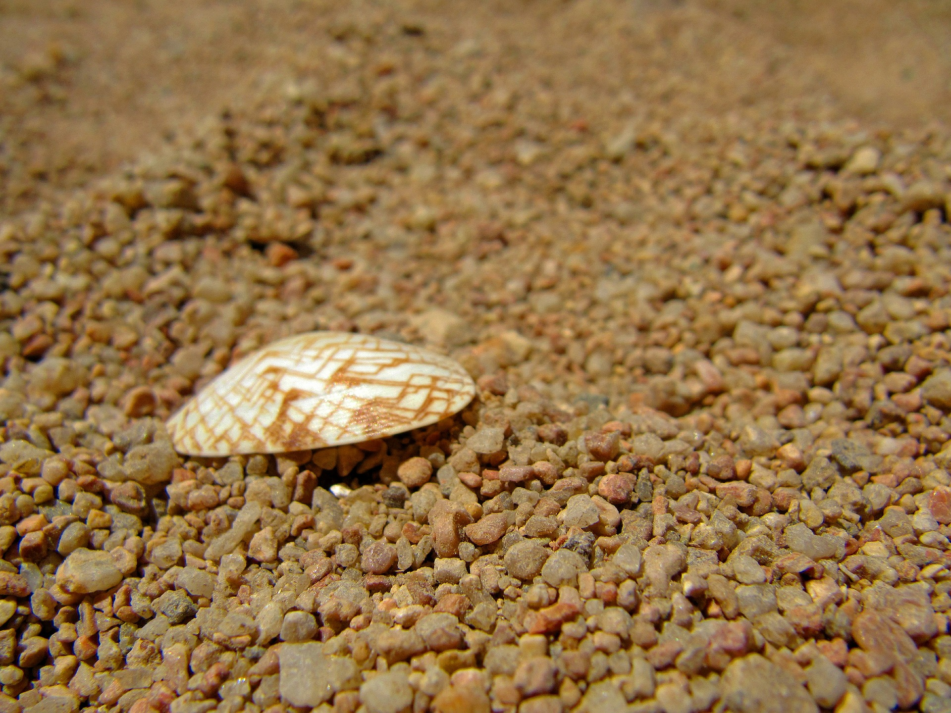 cockle-shell-571905_1920